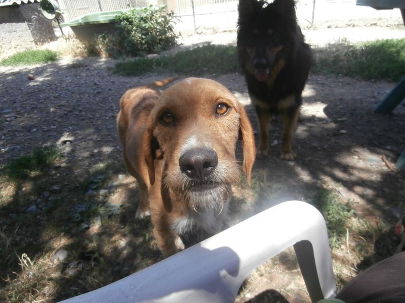FAUVE (chien croisé fauve de Bretagne) P7156318