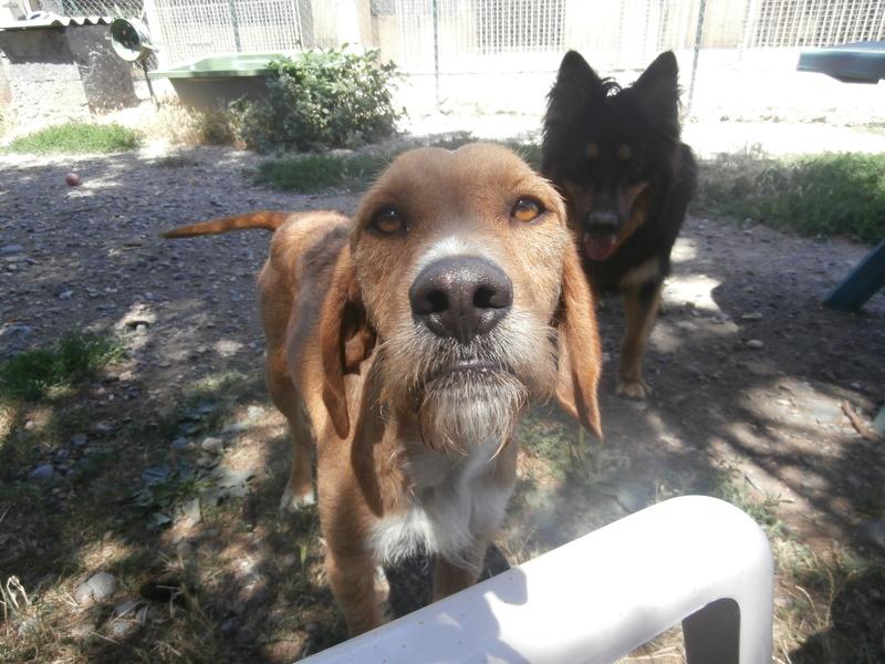 FAUVE (chien croisé fauve de Bretagne) P7156320