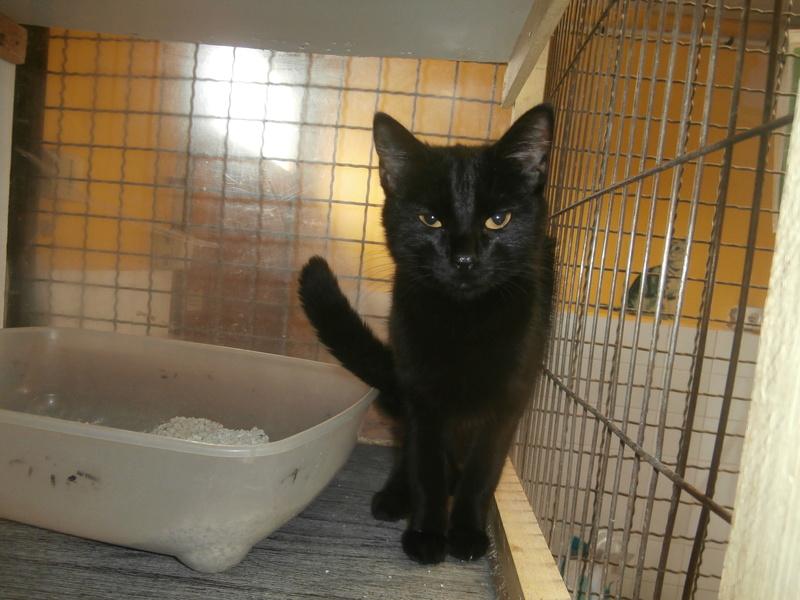 INA (chatte européenne noire) P7256310
