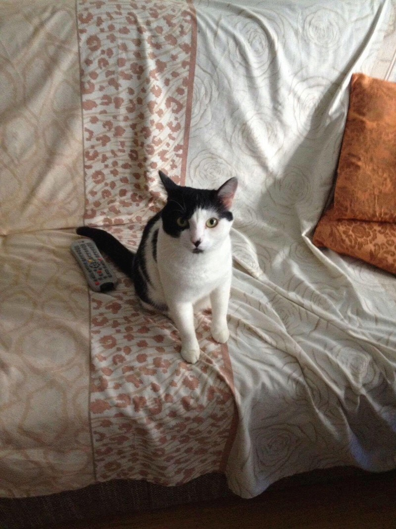BRIAN - chat mâle né janvier 2016 environ, très affectueux - ADOPTE EN ROUMANIE 20314810