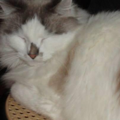 JULES et EDOUARD - chats mâles à poils longs, nés en 2005 - adoptés par Sophie et André (Belgique) 21076810