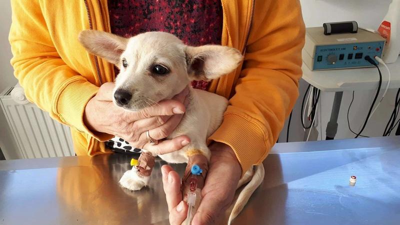 CAPSUNICA - femelle croisée de taille mini adulte, née mai 2017 - Adoptée par Christine (depart 84) 21908010