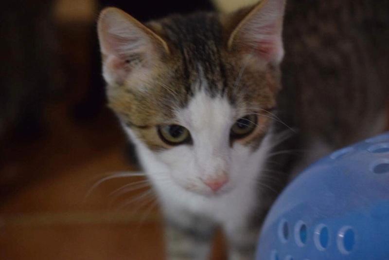 MUGUREL - chat mâle, né mai 2017. Très gentil et doux - CARMINA BUCAREST - adopté en Allemagne Img_1525