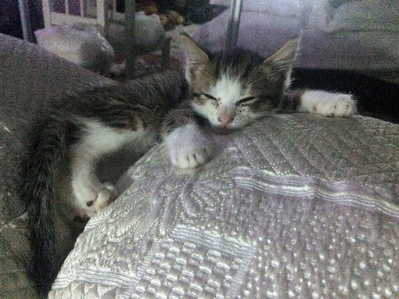 MUGUREL - chat mâle, né mai 2017. Très gentil et doux - CARMINA BUCAREST - adopté en Allemagne Img_4415