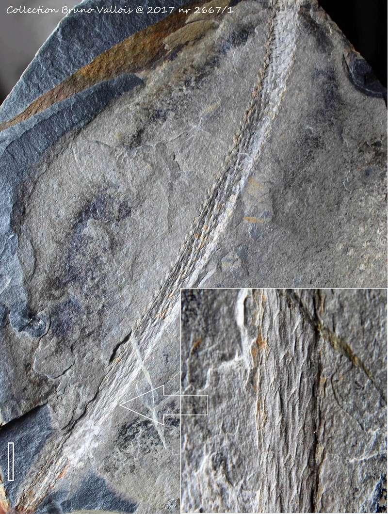 Flore Carbonifère des Alpes Françaises part 1 - Page 5 2296_r10