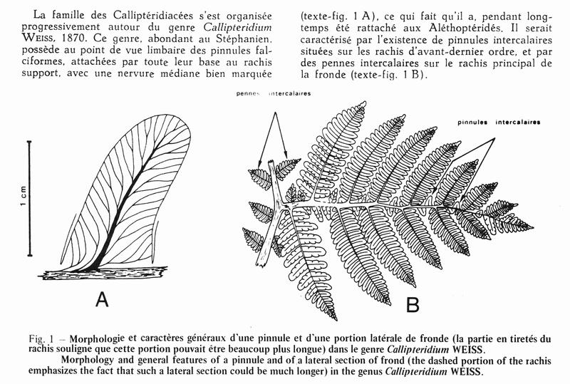 Flore Carbonifère des Alpes Françaises part 1 - Page 5 Callip10