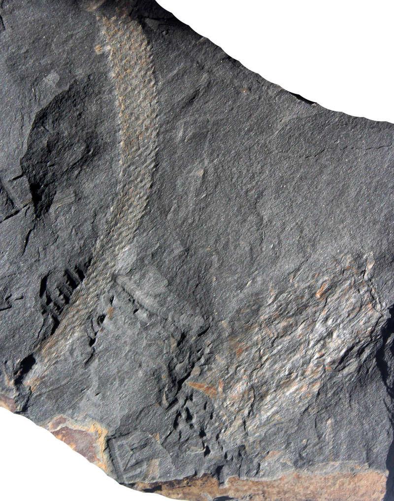 Flore Carbonifère des Alpes Françaises part 2 Img_3610
