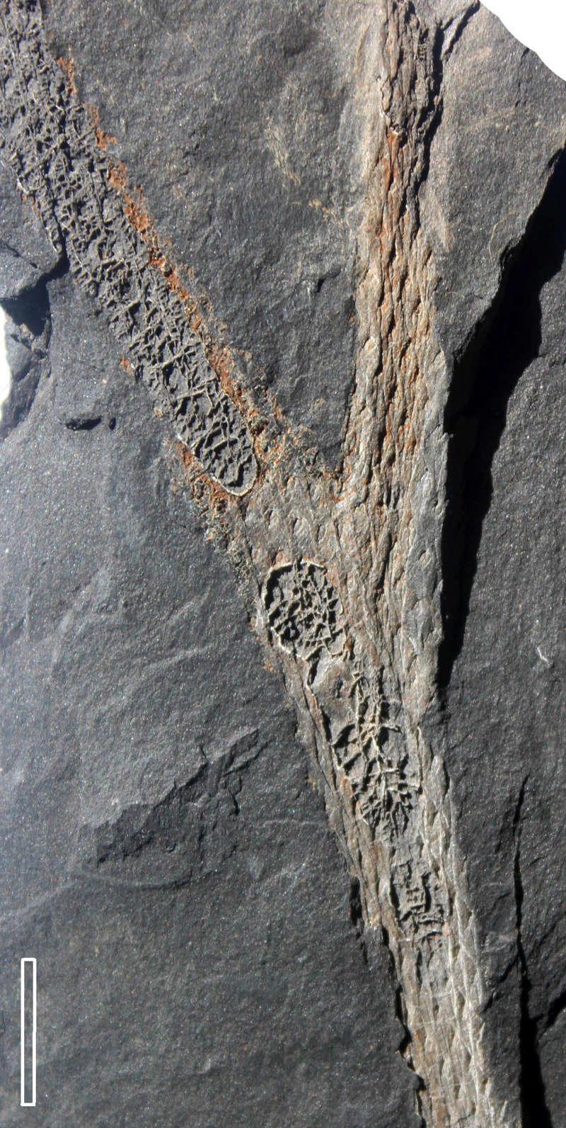 Flore Carbonifère des Alpes Françaises part 2 Img_3612