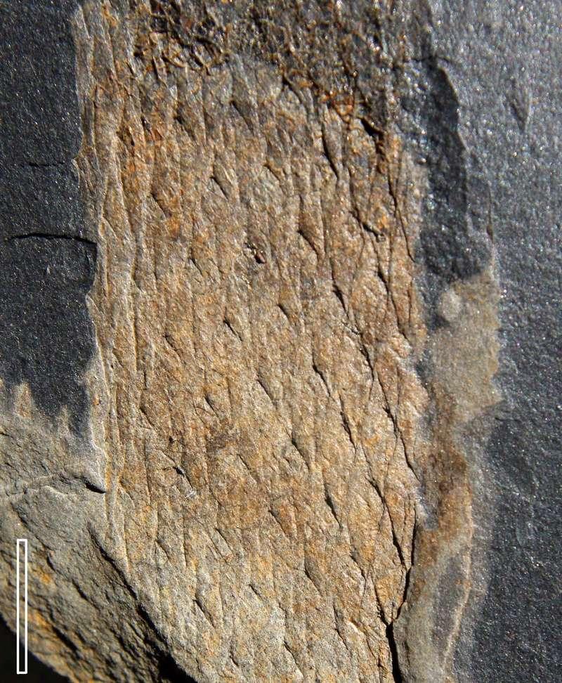 Flore Carbonifère des Alpes Françaises part 2 Img_3913