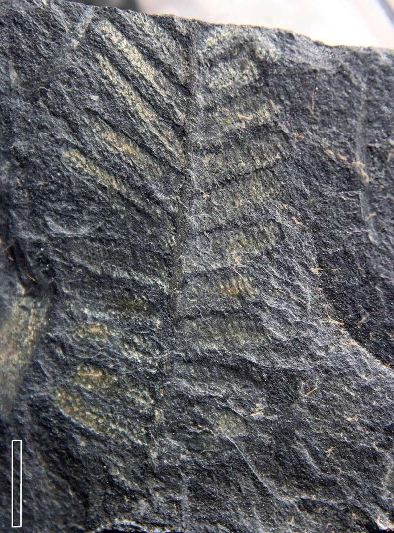 Flore Carbonifère des Alpes Françaises part 2 Img_3914