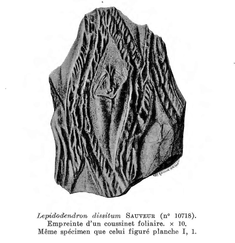 Flore Carbonifère des Alpes Françaises part 1 - Page 5 L10