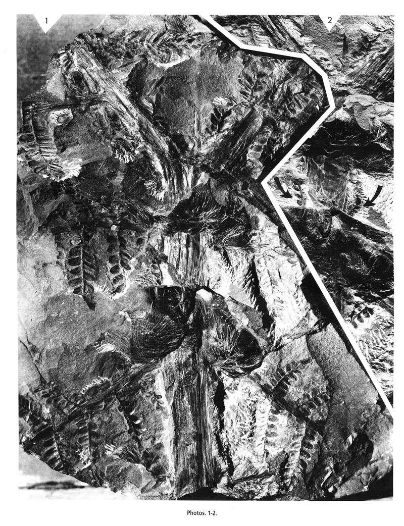Flore Carbonifère des Alpes Françaises part 1 - Page 5 Lavein10