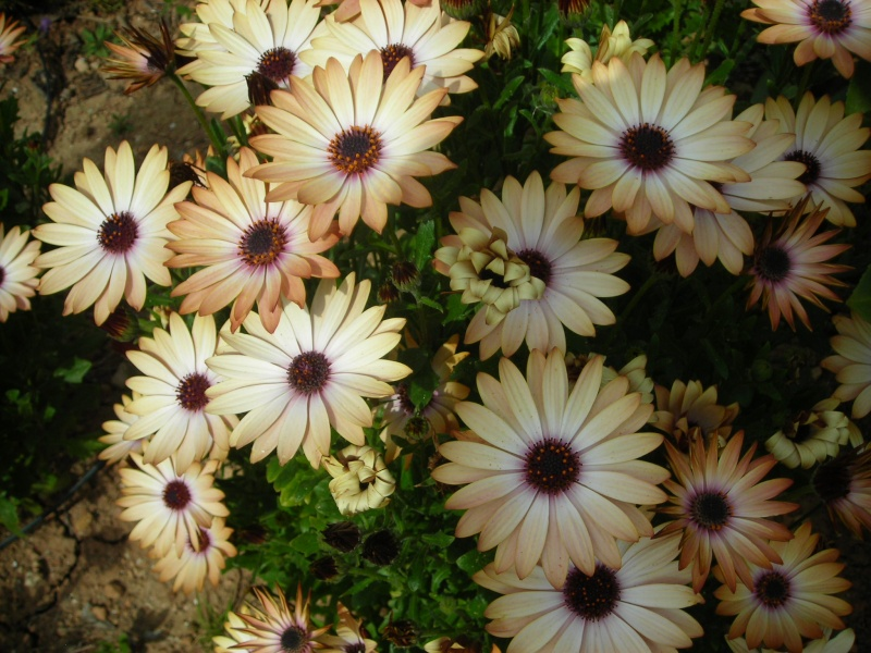 Nuestro jardín de Sa Possessió - Página 2 154_fl10