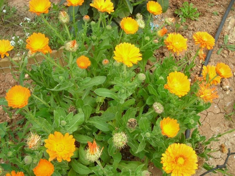 Nuestro jardín de Sa Possessió - Página 2 155_fl10