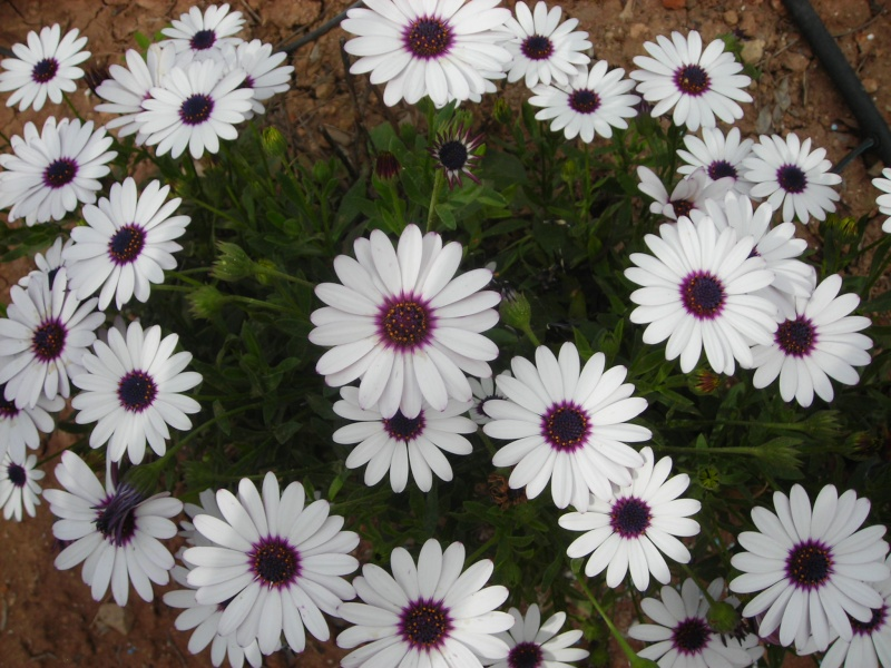 Nuestro jardín de Sa Possessió - Página 2 155_fl11
