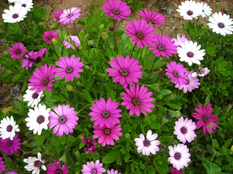 Nuestro jardín de Sa Possessió - Página 2 155_fl12
