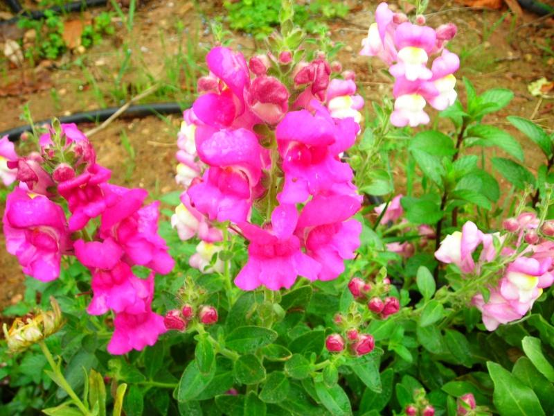 Nuestro jardín de Sa Possessió - Página 2 166_ro12