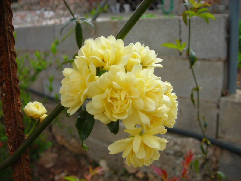Nuestro jardín de Sa Possessió - Página 2 168_ca10