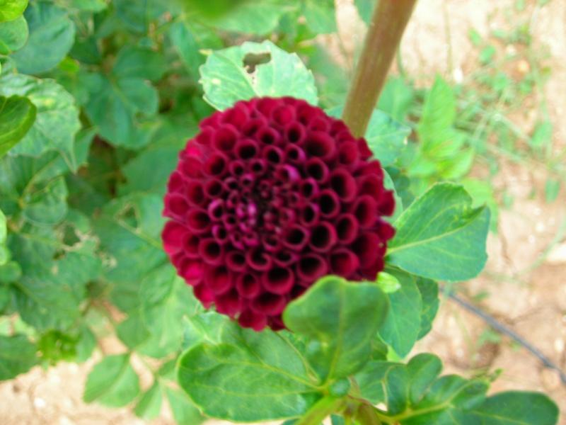 Nuestro jardín de Sa Possessió - Página 2 179_pl11