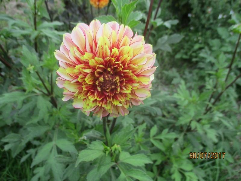 Dahlia - Page 6 Fleur115