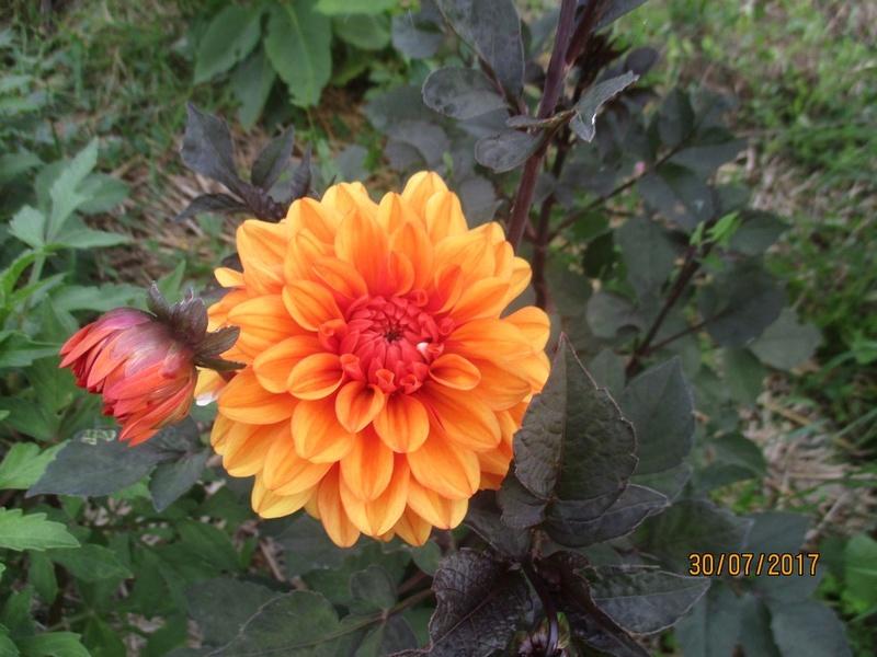 Dahlia - Page 6 Fleur119