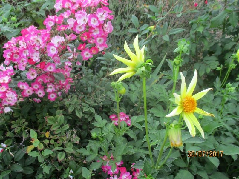 Dahlia - Page 6 Fleur123