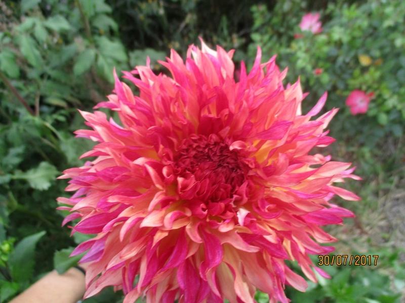 Dahlia - Page 6 Fleur125