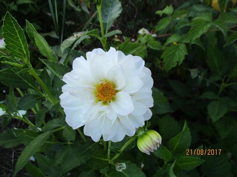 Dahlia - Page 6 Fleur160