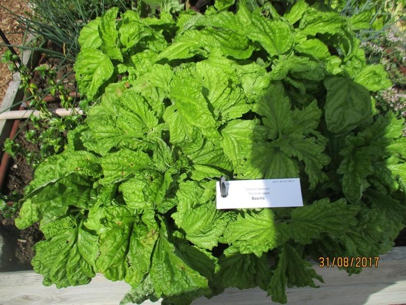 Basilic à feuilles de laitue La_mo116