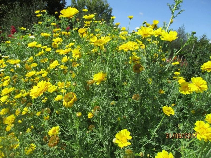 Chrysanthème comestible : chrysanthemum coronarium La_mo157