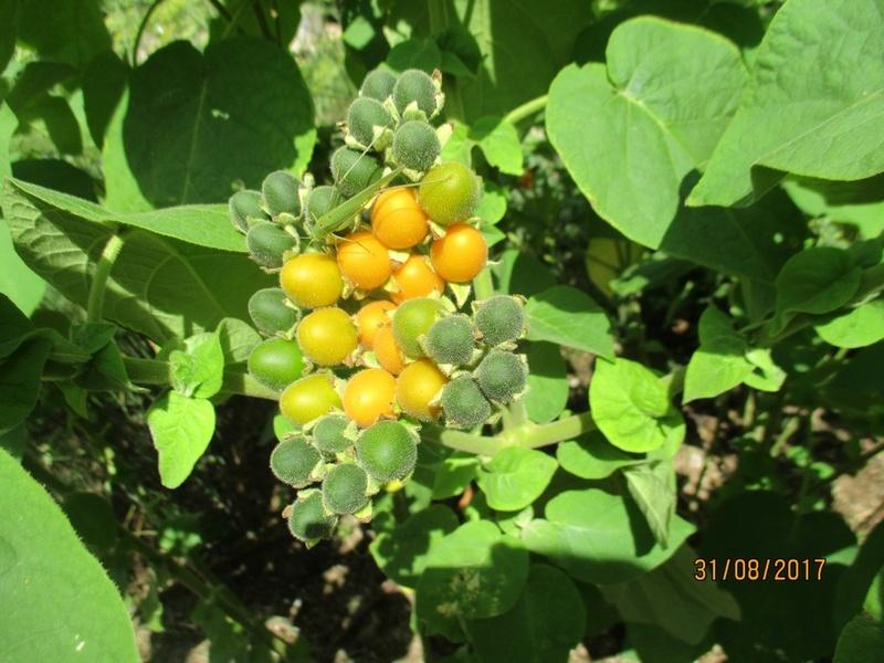 Cyphomandra abutiloides (tomate en arbre) La_mot12