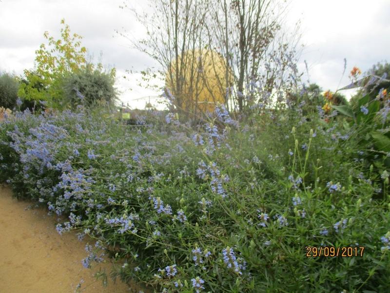 Salvia uliginosa - Page 2 Terra277