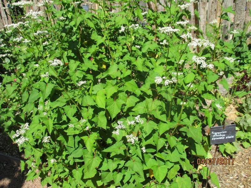Fagopyrum ou épinard d'Asie  Terra_41