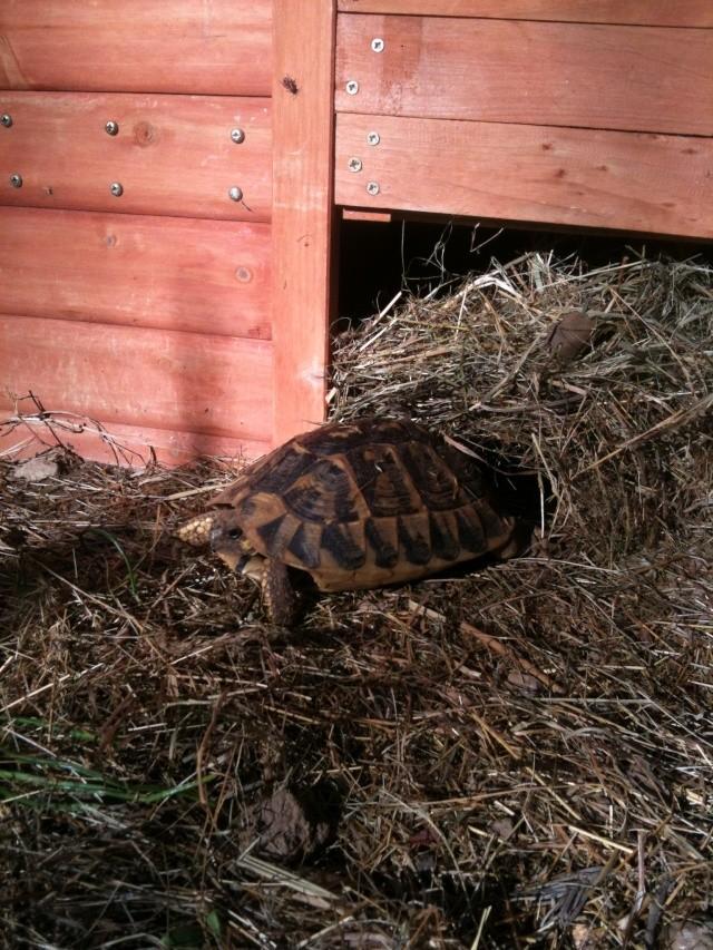 L'hibernation Pissenlit connait pas Tortue16
