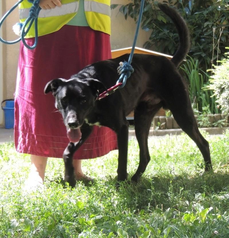 SAM, X labrador noir Lundi_31