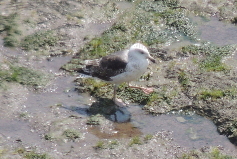 un Goéland marin - juvénile Dscn9510
