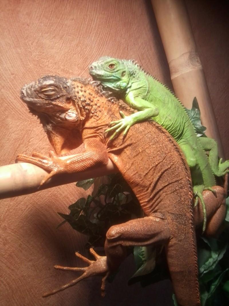 quelques un de mes reptiles Iguane10