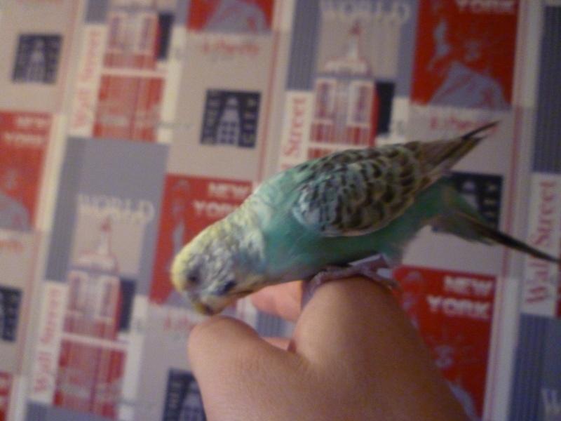 mes  amis plumees Perruc11