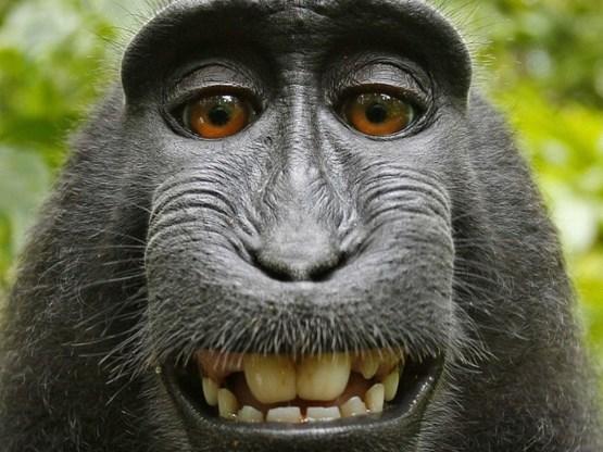 Fotograaf beroemdste aap-foto zit aan de grond Aap10