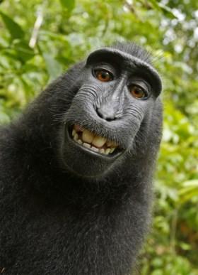Fotograaf beroemdste aap-foto zit aan de grond Aap11