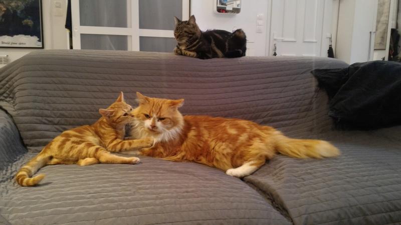 chuck - Urgent : FA/adoptants sans chat pour Chuck FIV dominant (27) Coraya16