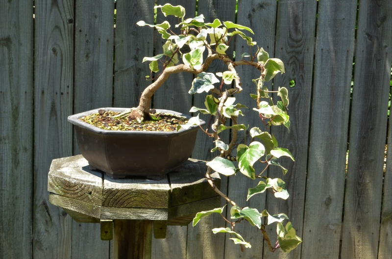 Ivy Cascade Hedera10
