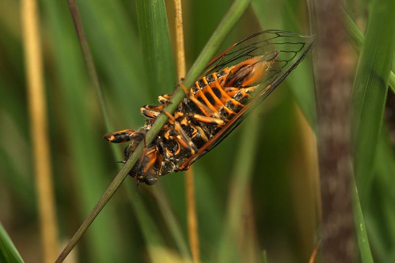 [Cicadetta gr. montana] Cigale _mg_6110