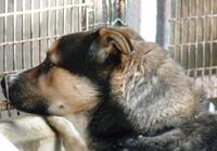 TAZ, husky x Berger, né le 16 mai 2008  besoin de stabilité: REFU91 Untitl14