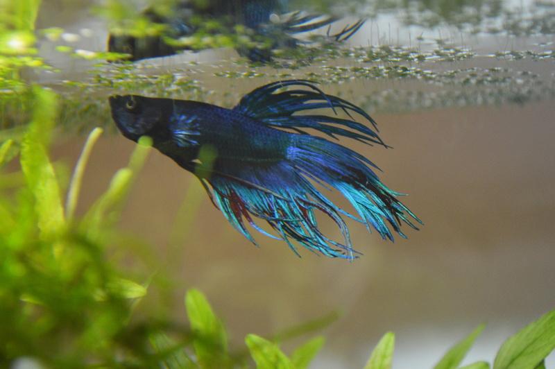 Mes 2 aquariums Dsc_0813