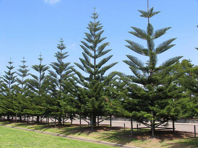 Araucaria heterophylla - pin de Norfolk 1-1-1-10