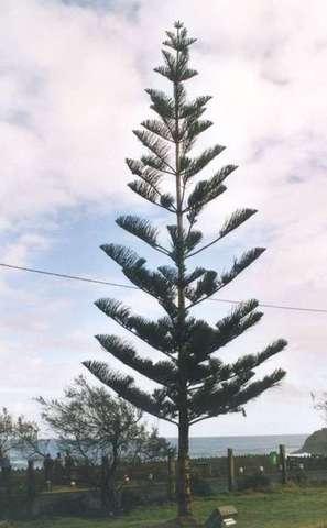 Araucaria heterophylla - pin de Norfolk 1-1-2310