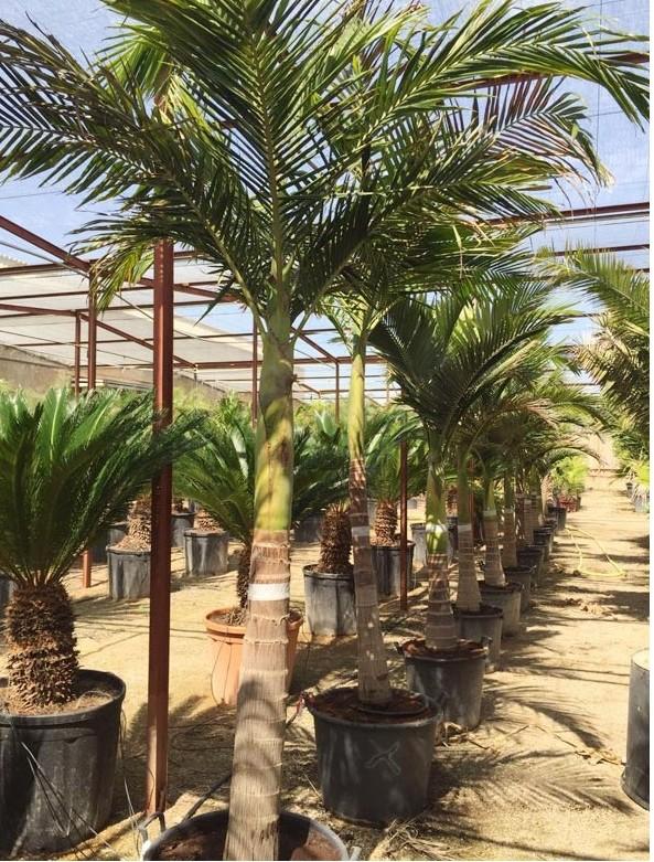 Roystonea regia - palmier royal 1-arch10