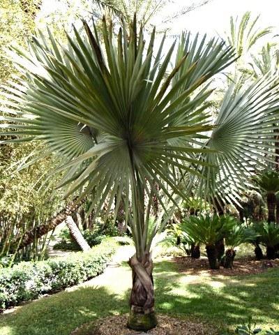 Bismarckia nobilis - palmier bleu de Madagascar 1-bism10