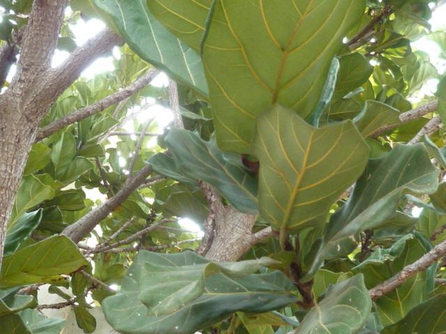 Ficus lyrata - figuier lyre 1-p10100